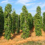 Kỹ thuật trồng và chăm sóc tiêu cho năng suất cao - 1436814991 fzgetieu1 oepe 150x150