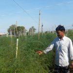 Măng Tây lên xanh trên đất rốn hạn, lãi gấp 7 lần trồng lúa - 1464260747 dv phu10 150x150