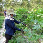 Chăm sóc cây Bí bằng phân bón Văn Điển