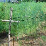Quảng Nam: Thu gần nửa tỷ đồng/ha nhờ trồng Măng Tây xanh - 1464577453 mang tay 4 150x150