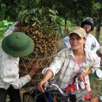Hướng dẫn bón phân NPK cho cây Vải, Nhãn - 1464691103 dv cot16 150x150