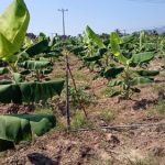 Giống Chuối mốc cấy mô dễ trồng, dễ bán - 1464691482 dv phu12 mt 150x150