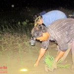 Người dân Nghệ An cấy đêm tránh nắng - 1464930366 cay 1 150x150