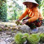 Nhà vườn trồng Sầu Riêng mất hàng trăm tỷ vì nhiễm mặn - 1465265648 sau 150x150