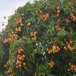 Bón phân NPK-S Lâm Thao cho cây Vải, Nhãn - 1466149830 dv 4 150x150