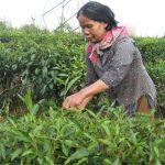 DAP Lào Cai – lựa chọn tốt cho nông dân