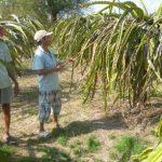 Trị kiến và bọ thầu dầu hại Thanh Long nghịch mùa