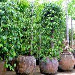 Tiêu trồng… trong chậu vẫn chi chít quả - 55dcf7d3e82a2 150x150