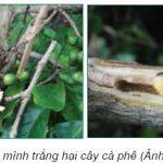 Biện pháp phòng trừ sâu đục thân hại cây Cà Phê