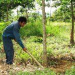 Cách bón phân Lâm Thao cho cây Cao Su