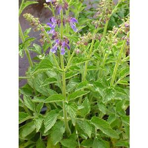 Các giống Sâm thường gặp - Salvia miltiorrhiza BLBP 01 Chinesischer Salbei Saatgut