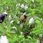 Bao trái Ổi bằng túi Nilon để chống sâu bệnh