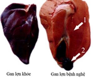 Bệnh Lợn nghệ (lepto) trên Lợn - benh lepto1 1