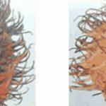 Phòng trừ bệnh thối trái Chôm Chôm - benh thoi trai chom chom 150x150