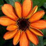 Ngắm nhìn bông hoa đầu tiên 'khoe sắc' trên vũ trụ - bong hoa no tren tram vu tru quoc te iss 1 150x150