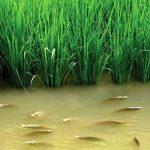 Nuôi Cá trên ruộng Lúa đạt 130 triệu đồng/ha