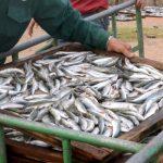 Bộ Y tế: Đề nghị tiêu hủy cá nục nhiễm 'chất độc' Phenol là vội vàng