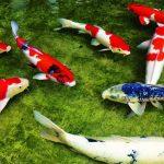 Hợp tác phát triển nuôi cá Chép 'nghìn đô' tại Vĩnh Long - ca chep koi vi israel 150x150
