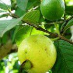 Cách phòng trừ sâu đục trái và bệnh thán thư hại Ổi trong mùa mưa