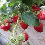 Kỹ thuật trồng và chăm sóc Dâu Tây tại nhà cho trái chín đỏ mọng - cach trong dau tay tai nha cho trai chin do mong 01 150x150