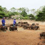 Nâng cao chất lượng sản phẩm Lợn rừng theo hướng organic - cai bap trong cho lon an 150x150
