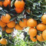 Đổi màu Cam Sành từ xanh đến vàng - cam sanh chin vang 150x150