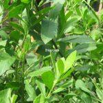 Bài thuốc từ cây Cúc Tần
