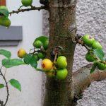 Cách làm cho cây Sung ra nhiều quả và đúng chỗ mong muốn