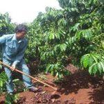 Chăm sóc, bón phân cho cà phê trong mùa mưa - cham soc ca phe 150x150