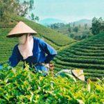 Ứng dụng tiến bộ kỹ thuật nâng cao năng suất Chè Lai Châu