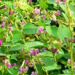 Tác dụng của cây Kim Tiền Thảo điều trị sỏi niệu, sỏi mật, viêm gan, viêm thận - chua benh soi than 03 150x150
