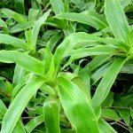 Thông tin nghiên cứu về cây Lược vàng