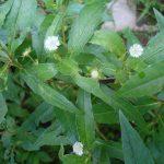 Lợi ích của cây cỏ Mực ( Nhọ Nồi )