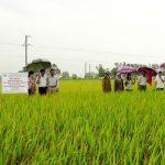 BoT1, giống lúa năng suất cao, gạo ngon, cơm dẻo