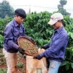 Giúp nông dân sản xuất Cà Phê bền vững - giup nong dan san xuat ca phe ben vung 150x150