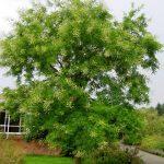 Quan niệm trồng cây hoa Hòe trước nhà,cây Dâu sau nhà - hoa hoe 150x150