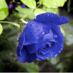 Tạo giống hoa Hồng mới - hoa hong xanh 150x150