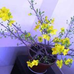 Cách chọn mua Mai – Cúc cho ngày Tết - hoa mai dongdau 150x150