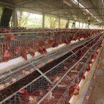 Hưng Yên áp dụng VietGAP trong chăn nuôi cho năng suất chất lượng cao - hung yen dau tu chan nuoi theo huong viet gap tang nang suat chat luong 1 150x150