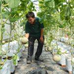 Kỹ thuật trồng dưa Lê trong nhà màng - images1046517 1a  1  150x150