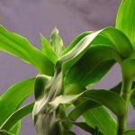 Một số cách dùng cây Lược vàng