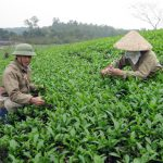 Chè Phú Hà áp dụng quy trình sản xuất chè theo tiêu chuẩn Châu Âu