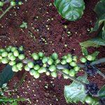 Khắc phục cà phê rụng trái - img 1588 jpg 150x150