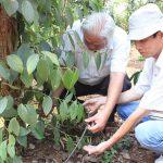 Khôi phục vườn Cà Phê, Hồ Tiêu sau hạn hán