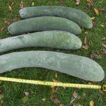 Kỹ thuật trồng Bí đao trái vụ sai quả, không sâu bệnh