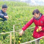 Kỹ thuật trồng Cà Chua an toàn, tươi ngon - ky thuat trong ca chua an toan 02 150x150