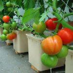 Kỹ thuật trồng Cà Chua trong thùng xốp đơn giản, tiết kiệm - ky thuat trong ca chua trong thung xop don gian tiet kiem 150x150