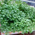 Kỹ thuật trồng rau Cải xoong cải thiện bữa ăn gia đình - ky thuat trong cay cai xoong 04 150x150