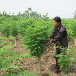 Trồng cây Chùm Ngây cho hiệu quả kinh tế cao - ky thuat trong cay chum ngay 01 150x150