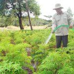 Tìm hiểu cách chăm sóc và thu hoạch cây Đinh Lăng - ky thuat trong cay dinh lang 01 150x150